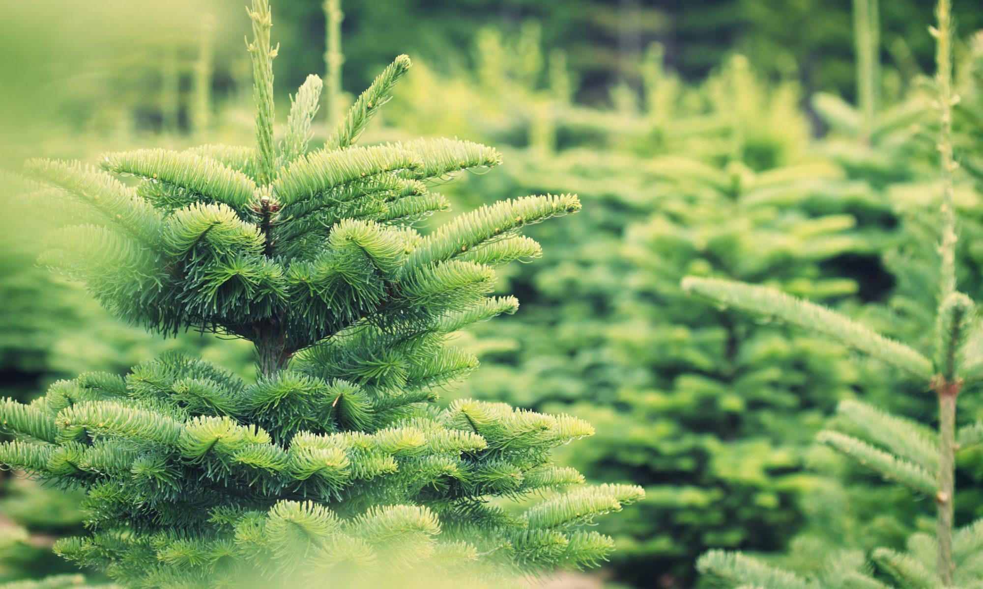 Lieferservice Weihnachtsbäume